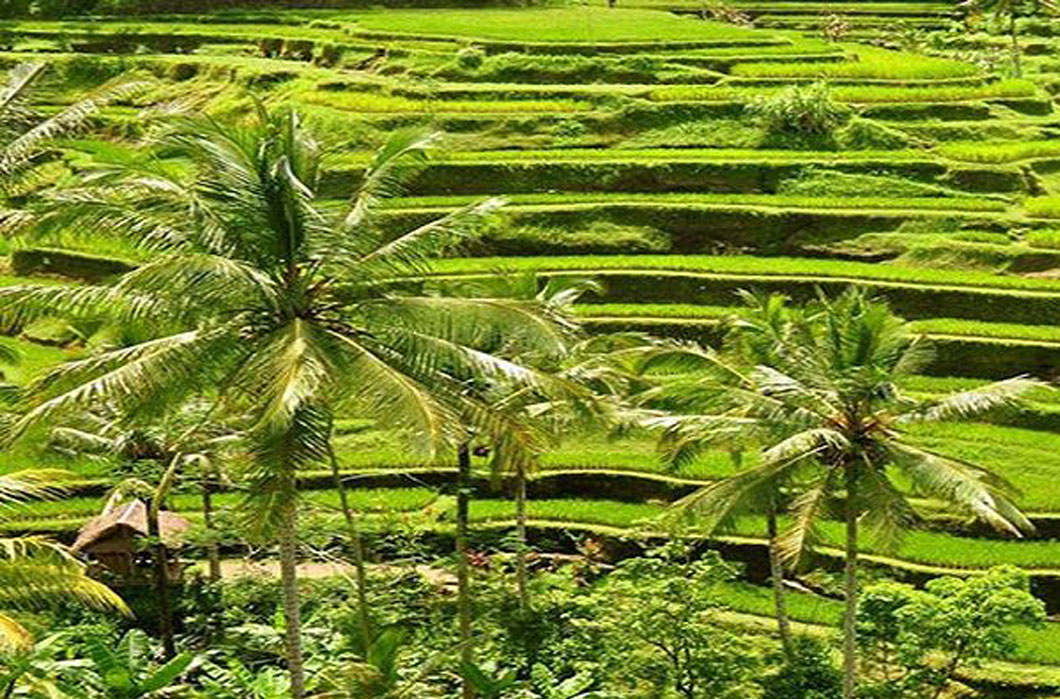 4 secret rice field